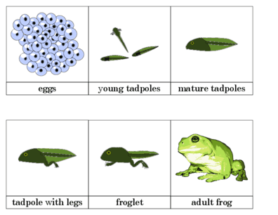 Frogs on Frog Life Cycle Coloring Pages For Preschoolers